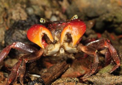 紅螯螳臂蟹照片