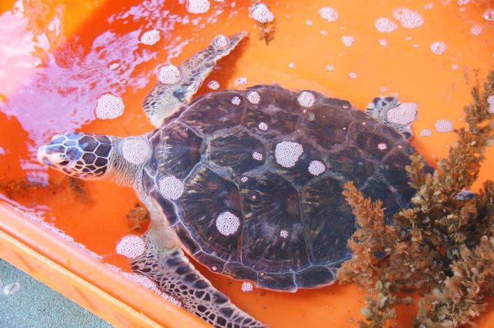 等帶野放的海龜