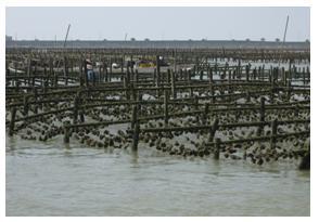 嘉義沿海養殖牡蠣(林永銘 攝影)
