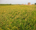 嘉南平原等待收割的稻田(吳松霖攝)