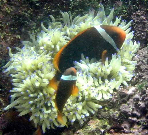 環境荷爾蒙會影響改變小丑魚的行為反應 動搖社會階級制度的穩定性