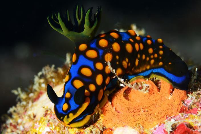 相模多角海蛞蝓,身體佈滿著黃色疣突狀圓點,時尚感十足,最大體長可達13公分