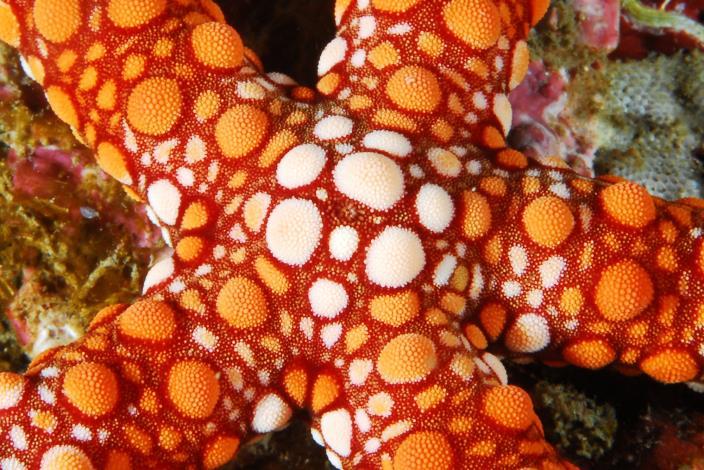 飛納多海星腕上有深菊紅色斑塊,生活在水深1- 5米的珊瑚礁區