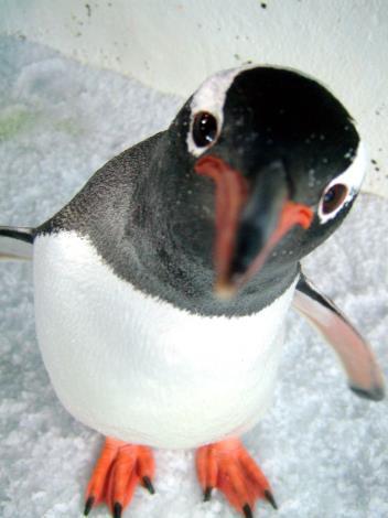 巴布亞企鵝