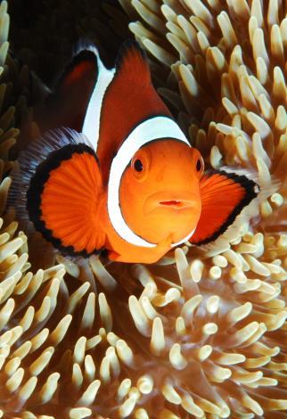 眼斑海葵魚-林清哲
