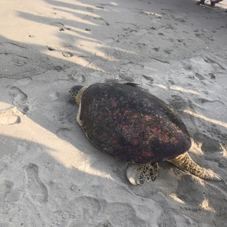 圖5獨臂海龜楊過野放