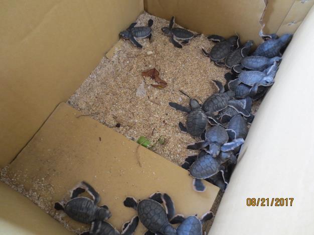 圖1-剛孵化的幼年綠蠵龜.JPG
