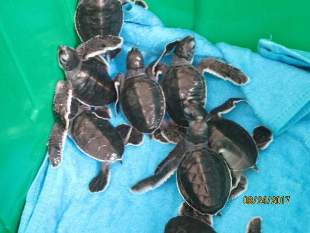圖6-野放前的小海龜.JPG