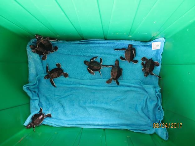 圖5-野放前的小海龜.JPG