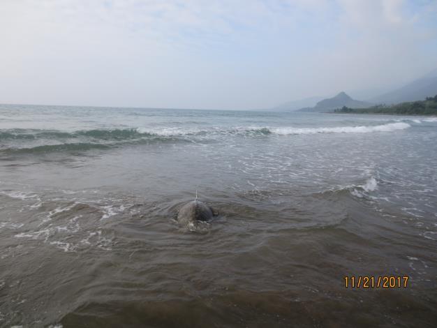 圖4-海龜載著衛星追蹤器游向大海.JPG