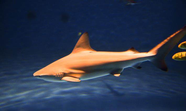 台灣首展的鯊魚-公牛白眼鮫1