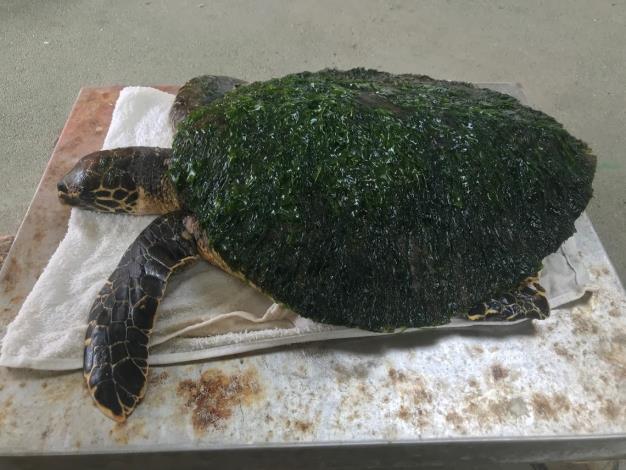 玳瑁背甲覆蓋藻類