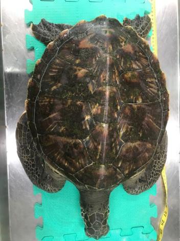 綠蠵龜背甲