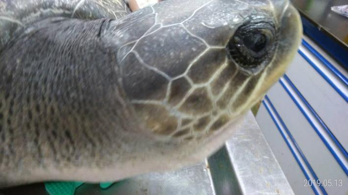 欖蠵龜右側臉