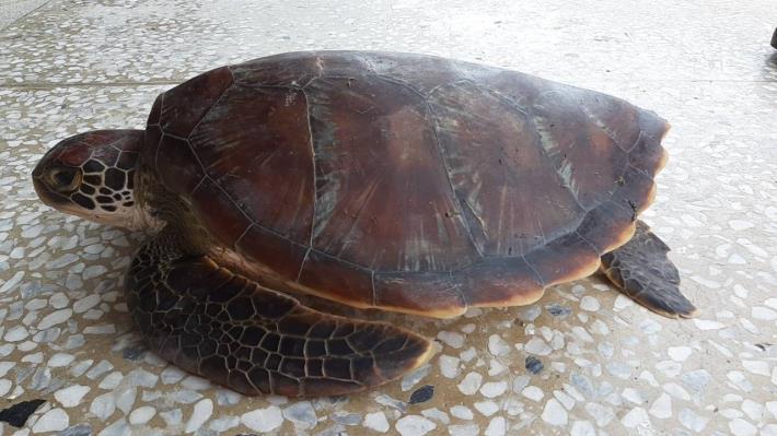 綠蠵龜左側