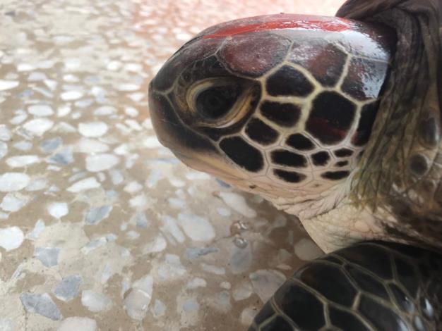 綠蠵龜左側臉