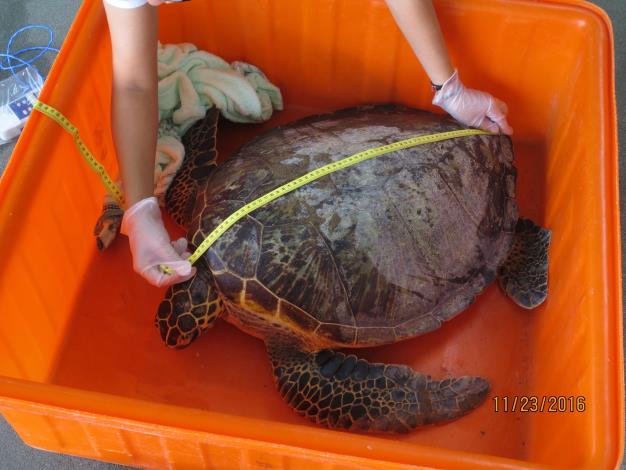 綠蠵龜健康檢查