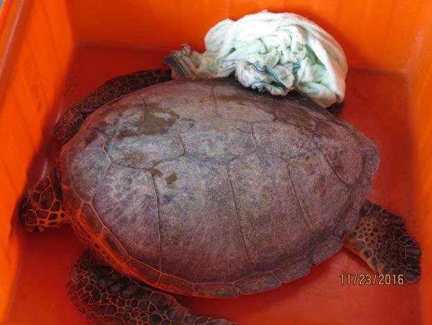 綠蠵龜照護