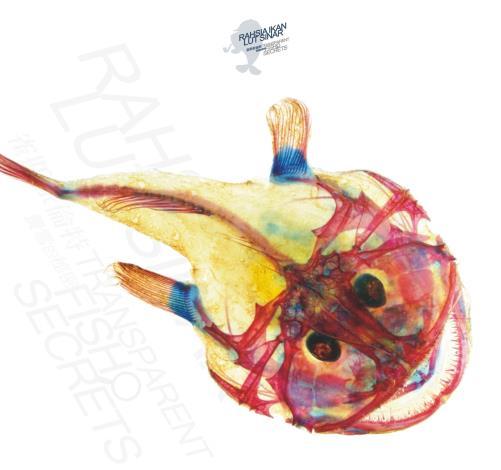 圖二-黑鮟鱇魚透明標本.JPG