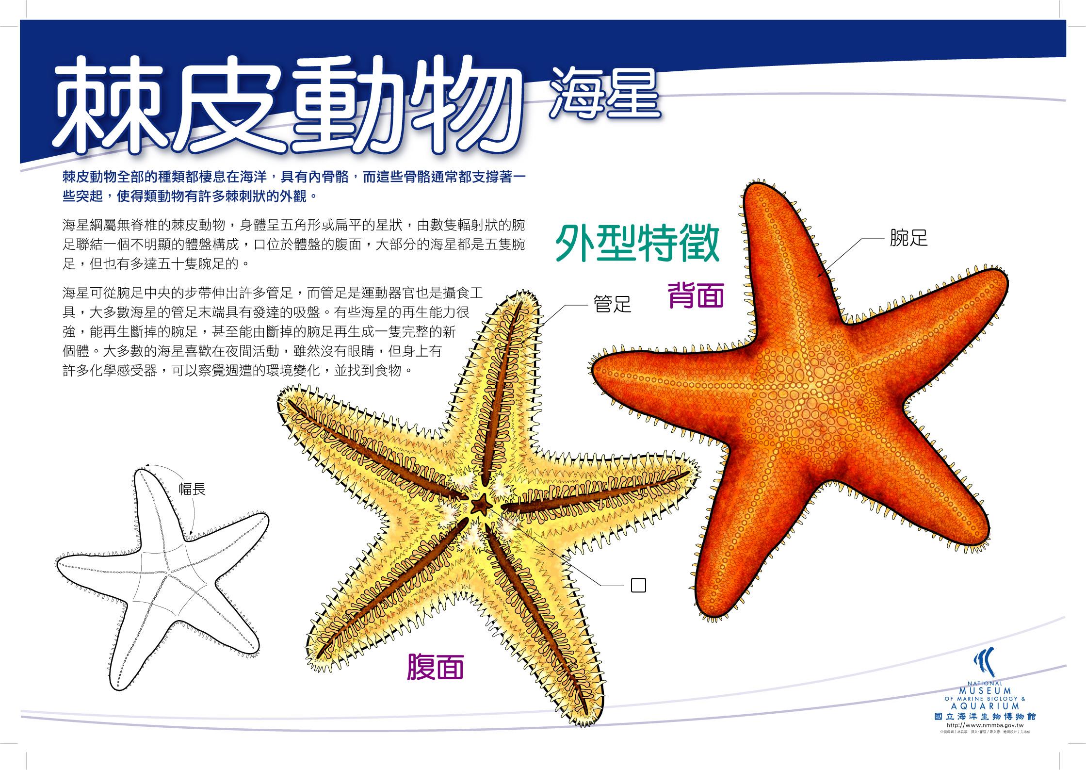 棘皮動物 - 海星