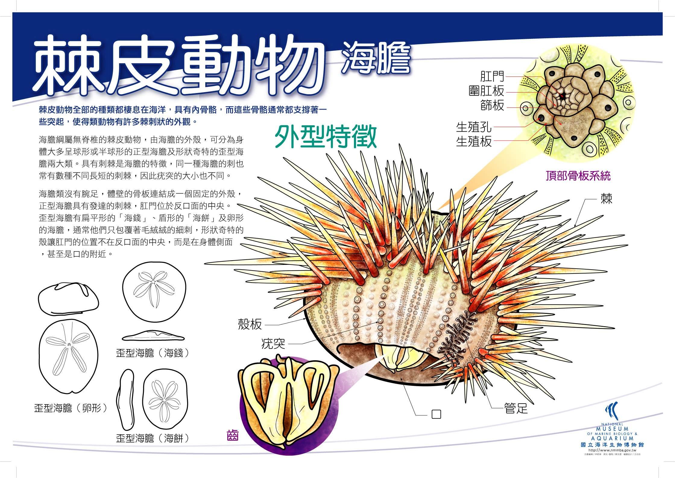 棘皮動物 - 海膽
