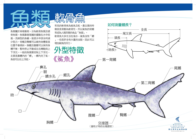 魚類 - 鯊魚