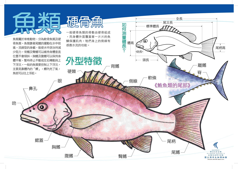 魚類 - 硬骨魚
