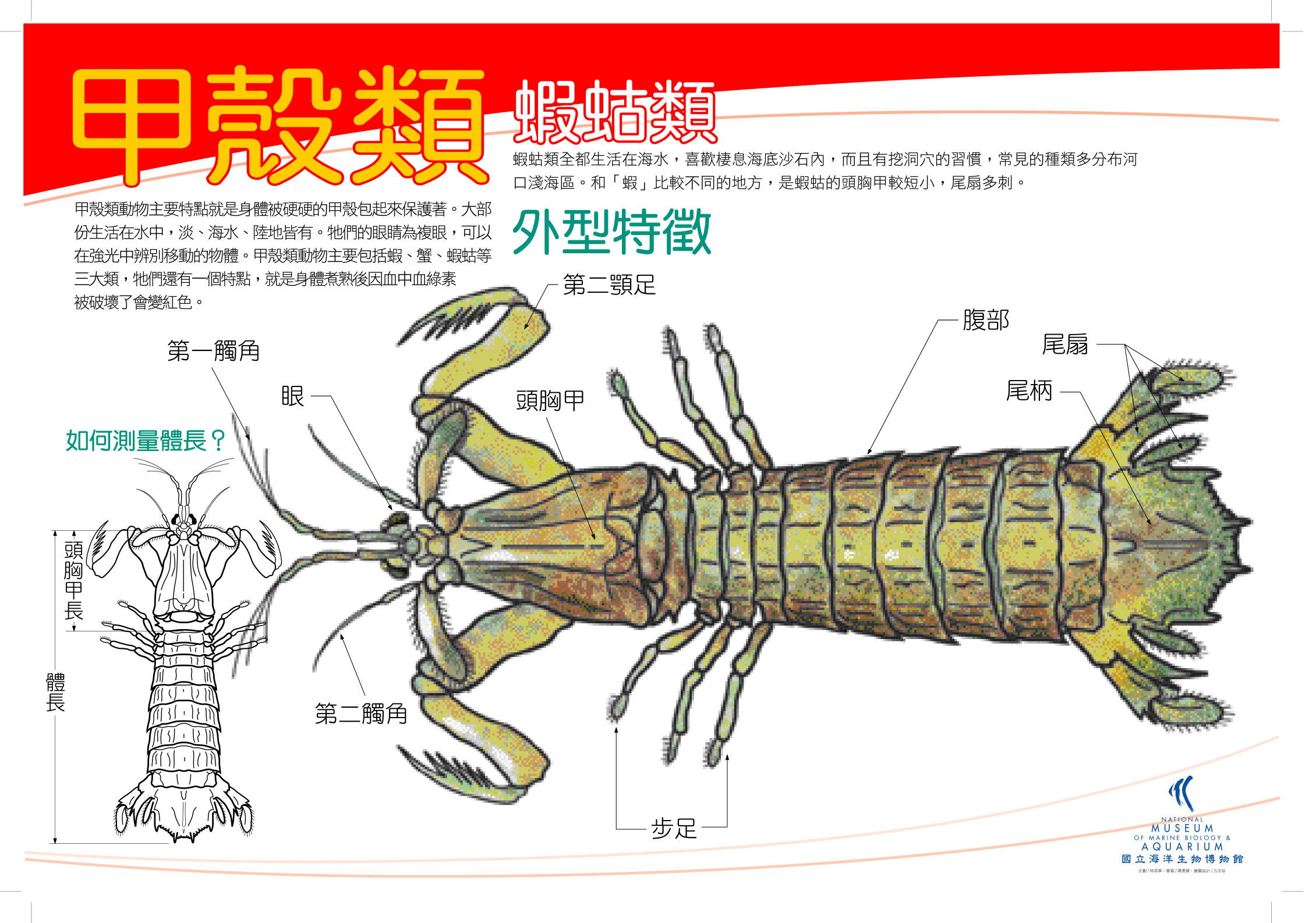 甲殼類 - 蝦姑