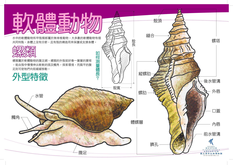 軟體動物 - 螺