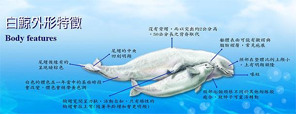 白鯨外型特徵