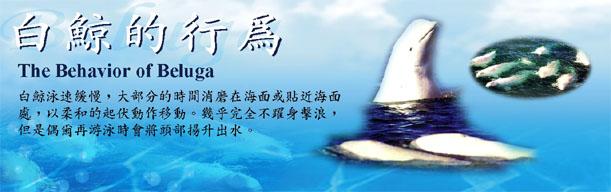 白鯨的行為