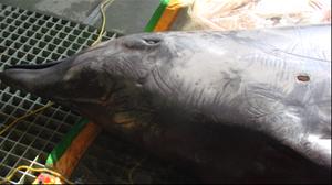 該鯨身上有數個長約3×2×2公分大小的傷口