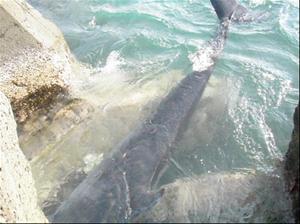 該鯨誤陷港區之消波塊間隙,確認已無生命狀況