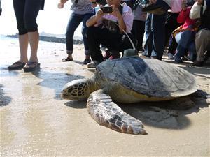 海龜野放活動