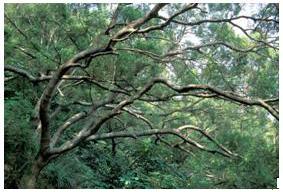 相思樹(賴志鵬 攝影)