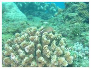 雀屏珊瑚(Pavona sp.) (溫國彰 攝影)