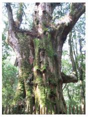 司馬庫斯紅檜神木(王怡平 攝影)