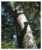 塔塔加一代的鐵杉林林下<br> (王怡平 攝影)