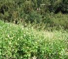大花咸豐草快速蔓延造成臺灣本土植物生存空間減少(陳元憲攝)