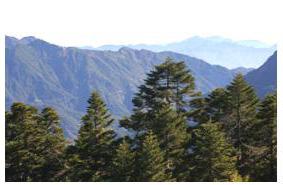 合歡山的冷杉木(賴志鵬 攝影)