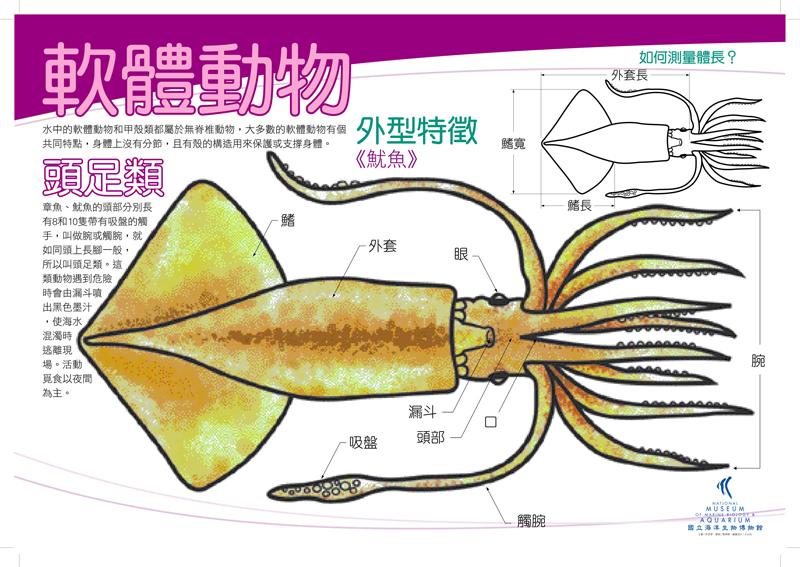 軟體動物 - 頭足魷魚
