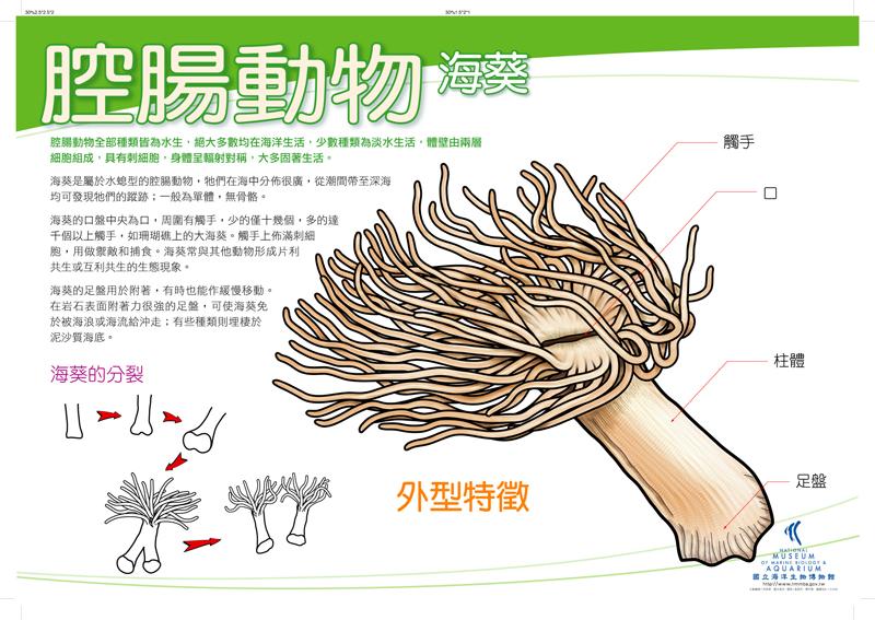 腔腸動物 - 海葵