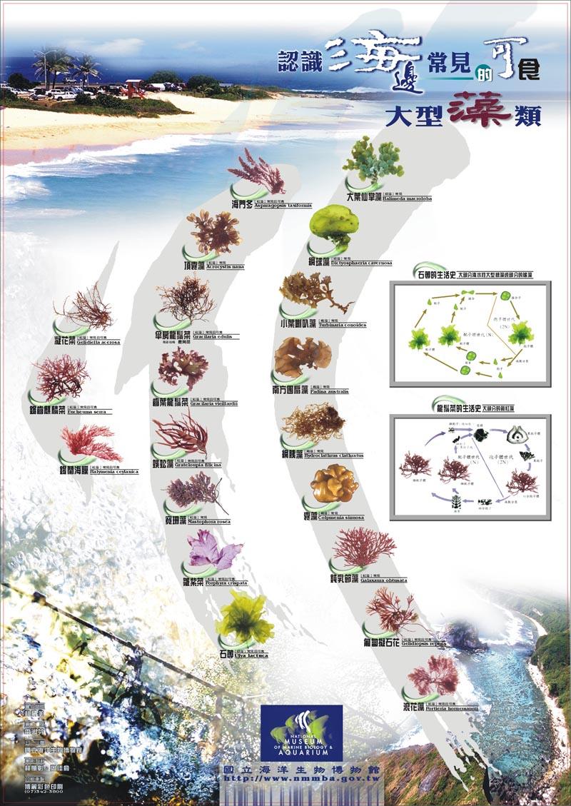 認識海邊常見的可食大型海藻